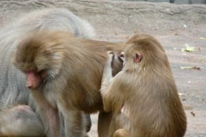 ... mich laust der Affe
